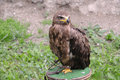 Golden eagle - Aquila chrysaetos Royalty Free Stock Photo
