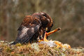 Golden Eagle, Aquila chrysaetos, bird of prey with kill red fox on stone, photo with blurred orange autumn forest in the backgroun Royalty Free Stock Photo