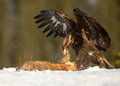 Golden eagle aquila chrysaetos feeding on a red fox high in the mountains in norway Stock Image