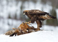 Golden eagle aquila chrysaetos feeding on a red fox high in the mountains norway Royalty Free Stock Images