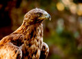 Golden eagle aquila chrysaetos one of the best known birds of prey in the northern hemisphere Royalty Free Stock Photo