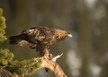Golden eagle aquila chrysaetos perched on tree with it s kill norway march Royalty Free Stock Photos