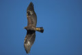 Golden eagle aquila chrysaetos single bird in flight Royalty Free Stock Image