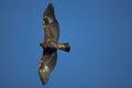 Golden eagle, Aquila chrysaetos Royalty Free Stock Photo