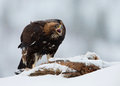 Golden eagle aquila chrysaetos in a snowstorm norway march Stock Images