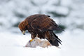 Golden Eagle, bird of prey with catch kill red fox in snowy winter, snow in the forest habitat, Norway Royalty Free Stock Photo