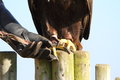 Golden Eagle with falconer showing talons Stock Images