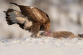Golden Eagle feeding. Royalty Free Stock Photos