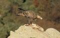 Oro águila