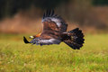 Golden Eagle, flying above flowering meadow, brown bird of prey with big wingspan, Norway