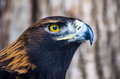 A golden eagle with a golden eye Royalty Free Stock Photo