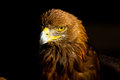 Golden eagle a gorgeous shot of a Royalty Free Stock Photography