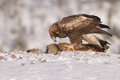 Golden eagle a mature male feeding on a dead red fox carcass Royalty Free Stock Image