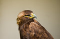 Golden eagle portrait of a Royalty Free Stock Image