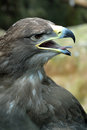 Golden eagle portrait of a Royalty Free Stock Images