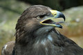Golden eagle portrait of a Stock Photos
