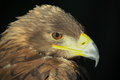 Golden eagle a profile of a Royalty Free Stock Photo