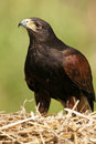 Golden Eagle - Scotland Stock Images