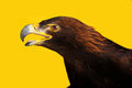 Golden eagle shoot in studio yellow background Stock Photos