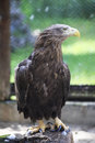 Golden eagle sitting on a log novosibirsk zoo russia Stock Photography