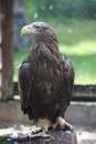 Golden eagle sitting on a log novosibirsk zoo russia Royalty Free Stock Photography