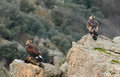 Golden eagles eat two on the rocks of the mountains Royalty Free Stock Photo