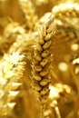 Golden ears of wheat on the field close up Royalty Free Stock Images