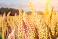 Golden ears of wheat on the field with some green trees in background Royalty Free Stock Photo