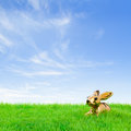 Golden easter bunny sitting in bright field at a fine spring day Stock Photos