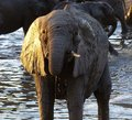 In golden evening light bathing baby elephant Royalty Free Stock Photo