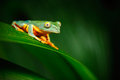 Golden-eyed leaf frog, Cruziohyla calcarifer, green frog sitting on the leaves, tree frog in the nature habitat, Corcovado, Costa Royalty Free Stock Photo