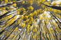 Golden Fall Aspen Tree Forest in Colorado Mountains Royalty Free Stock Photo