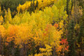 Golden fall aspen trees yukon boreal forest taiga colorful yellow autumn populus tremuloides of in the territory canada Stock Photography