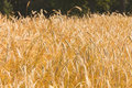 Golden field of rye in summer day Royalty Free Stock Photo