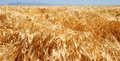 Golden Field of Unharvested Wheat Royalty Free Stock Photo