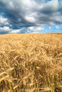 Golden fields of grain on a stormy day with enraged clouds Stock Photo