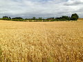 Golden fields Royalty Free Stock Photo