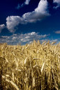 Golden Fields in the wind on a summers day Royalty Free Stock Photo