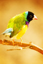 Golden finch bird male sitting on a branch Royalty Free Stock Photography