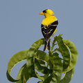 Golden finch on top of a tree Stock Image
