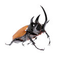 Golden five horned rhino beetle on a white background. Royalty Free Stock Photo