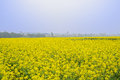 Golden flowering rape field in foggy sunny spring Royalty Free Stock Photo