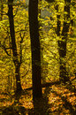 Golden forest light at autumn sunrise, Cemerno mountain Royalty Free Stock Photo