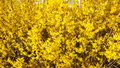Golden forsythia bloom video of in early april Stock Images