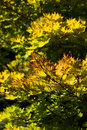 Golden full moon maple tree Royalty Free Stock Photo