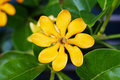 Golden gardenia flower top view of Stock Photos