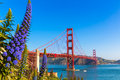 Golden gate bridge san francisco purple flowers california echium candicans in Royalty Free Stock Images