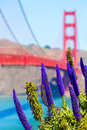 Golden gate bridge san francisco purple flowers california echium candicans in Royalty Free Stock Photography