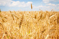 Golden grain field Royalty Free Stock Images