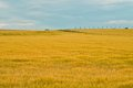 Golden grain landscape with cornfield and blue sky Royalty Free Stock Photos